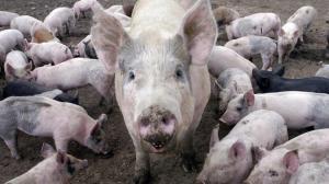 pigs-750xx2000-1127-0-111*750xx750-422-0-0-2