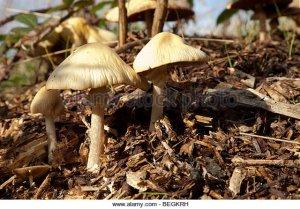 fungi-on-woodchips-begkrh